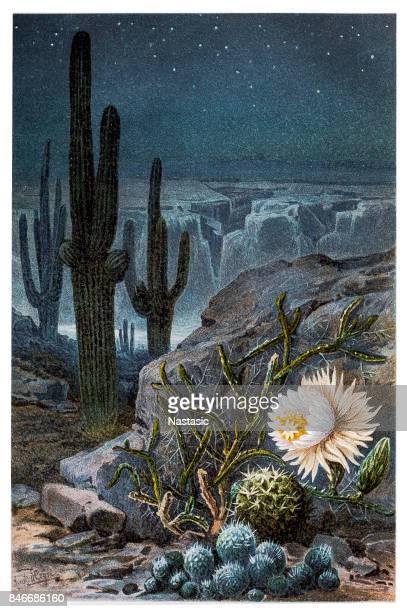 ilustrações, clipart, desenhos animados e ícones de rainha da noite cactos (cereus nycticalus) - cacto