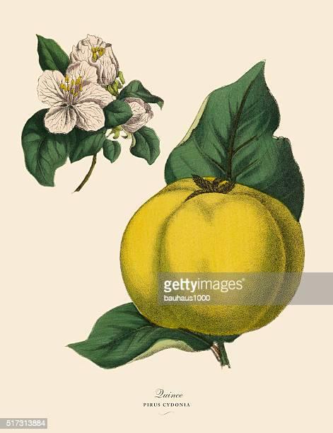 ilustrações de stock, clip art, desenhos animados e ícones de marmelo árvore de fruto, vitoriano ilustração floral - litografia