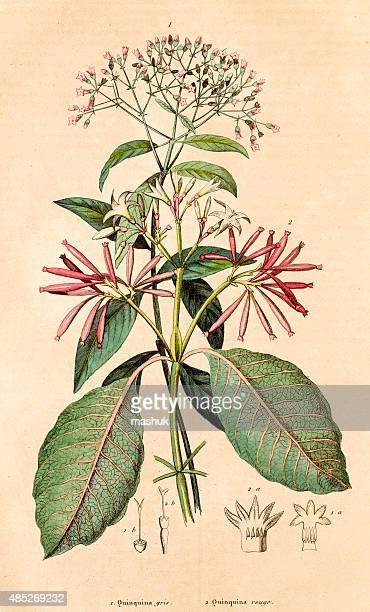 quinquina を処理を行い、19 世紀の植物イラストレーション - 漢方薬点のイラスト素材/クリップアート素材/マンガ素材/アイコン素材
