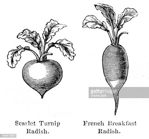 Radish vegetable engraving 1874