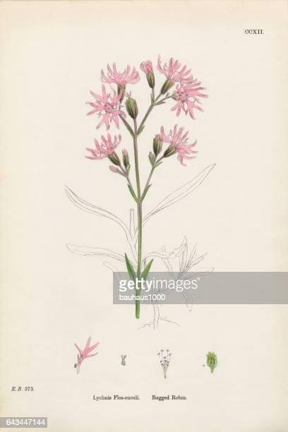 Ragged Robin, Lychnis Flos-cuculi, Victorian Botanical Illustration, 1863