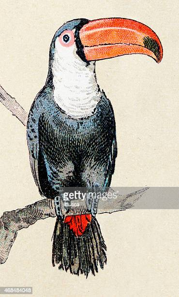ramphastos toucan, birds animals antique ilustration - toucan stock illustrations