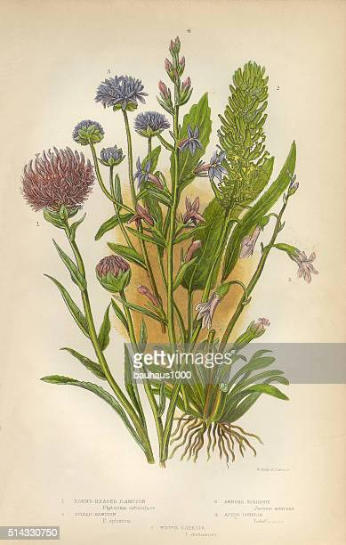 rampion, wildflower, scabious, honeysuckle, victorian botanical illustration - arrowwood stock illustrations, clip art, cartoons, & icons