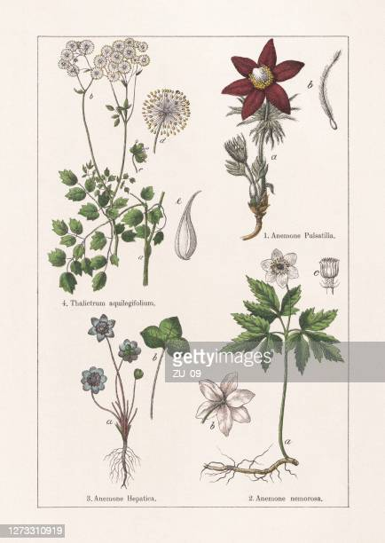 ranunculaceae, chromolithograph, published in 1895 - ornamental plant stock illustrations