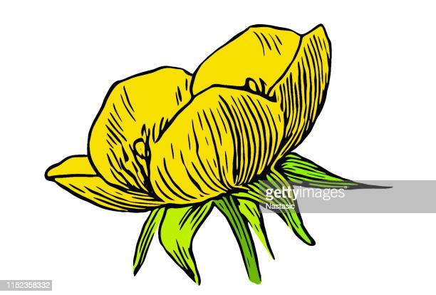 ranunculus bulbosus, commonly known as st. anthony's turnip or bulbous buttercup - buttercup stock illustrations, clip art, cartoons, & icons