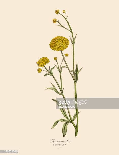 ranunculus or buttercup plants, victorian botanical illustration - buttercup stock illustrations, clip art, cartoons, & icons