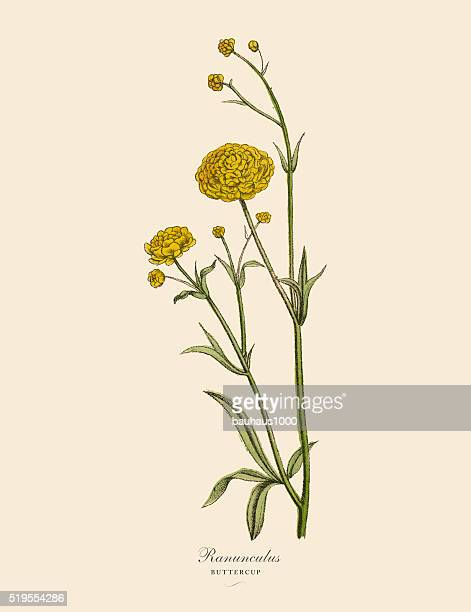 ranunculus or buttercup plants, victorian botanical illustration - ranunculus stock illustrations, clip art, cartoons, & icons
