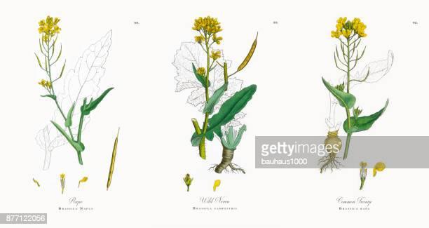 菜種とナタネ、ビクトリア朝の植物図、1863