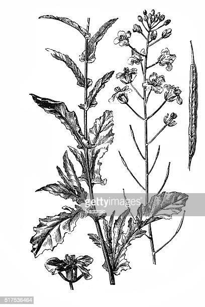 菜種(Brassica napus )