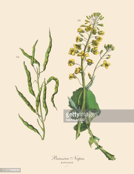 菜種、根菜作物、野菜、ビクトリア朝の植物図