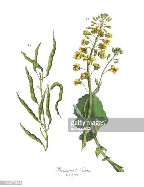 菜種、根菜、野菜、ヴィクトリア朝の植物画