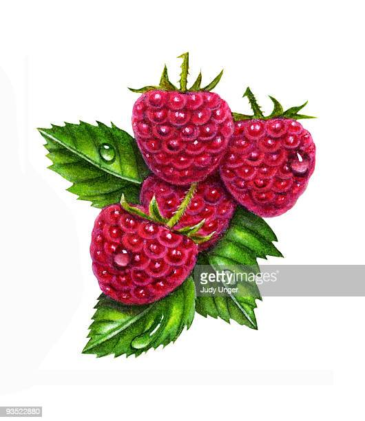 raspberries hanging on branch - four objects stock illustrations