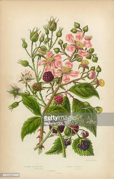 raspberry dewberry and bramble, victorian botanical illustration - raspberry stock illustrations, clip art, cartoons, & icons
