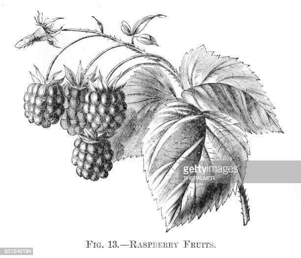 Raspberry fruits engraving 1898