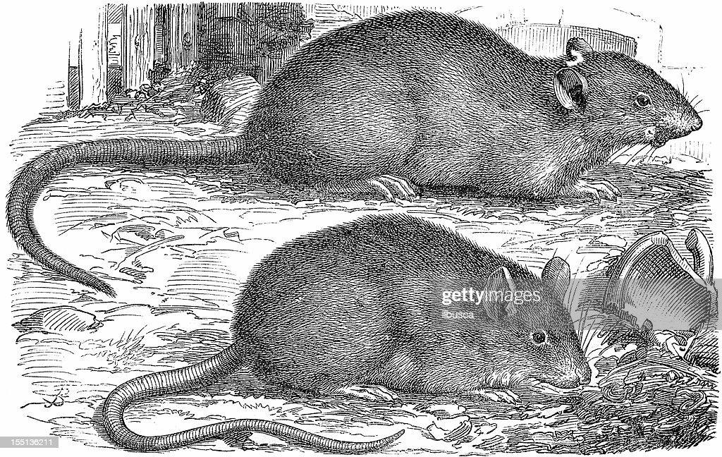 Rat (Rattus Norvegicus) : stock illustration