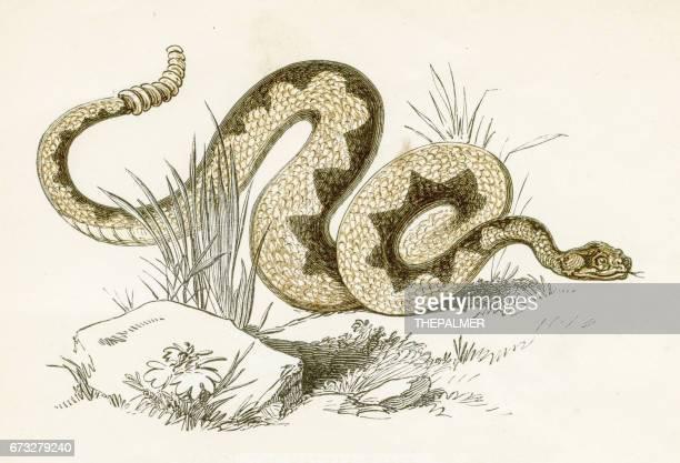 Rattlesnake engraving 1851