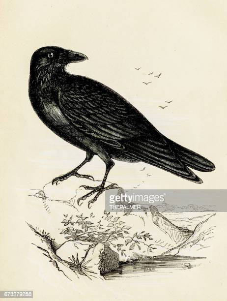 Raven bird engraving 1851