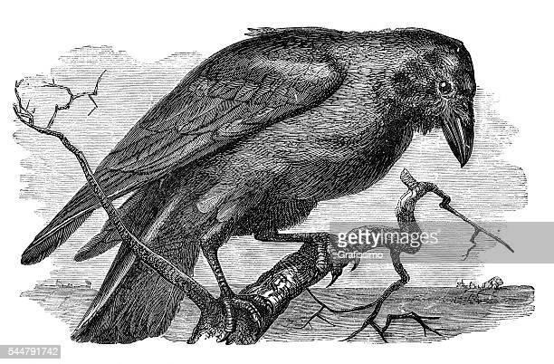 ilustraciones, imágenes clip art, dibujos animados e iconos de stock de corvus del cuervo ilustración 1881 - cuervo