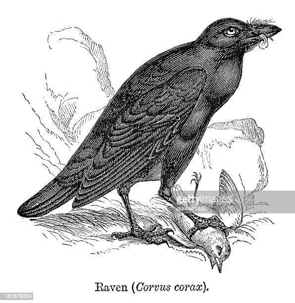ilustraciones, imágenes clip art, dibujos animados e iconos de stock de raven - cuervo