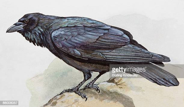 raven (corvus corax), perching on a rock, side view - crow bird stock illustrations