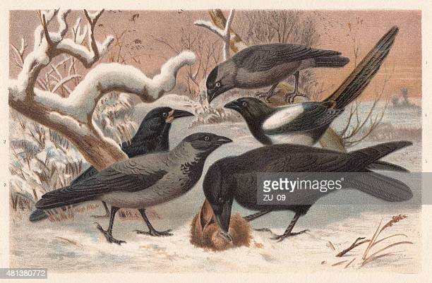 ravens, lithograph, published in 1882 - magpie stock illustrations