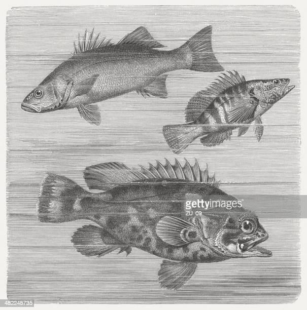 Ray-fishes con aletas