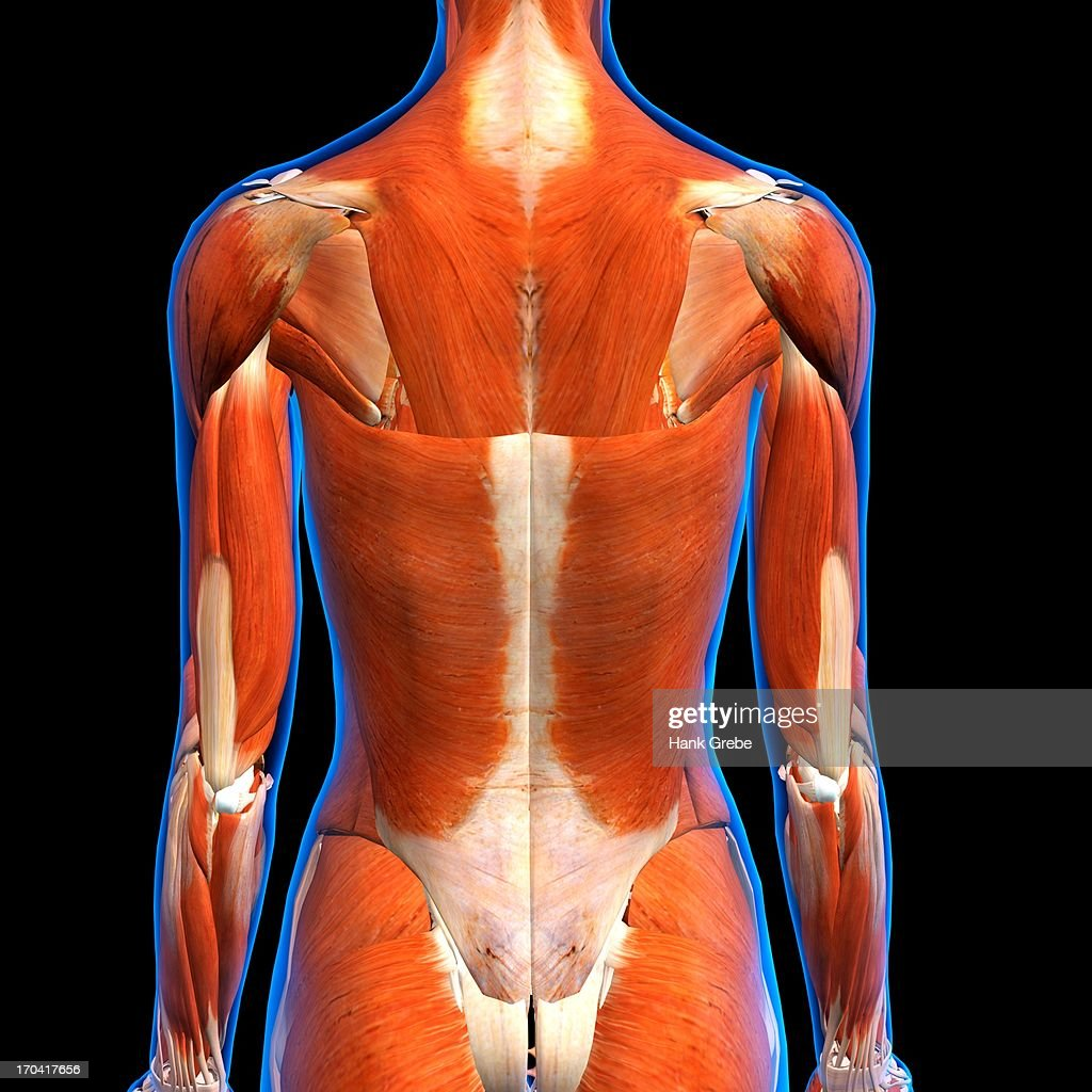 Rear View Of Female Back Muscles Anatomy In Blue Xray Outline Full ...