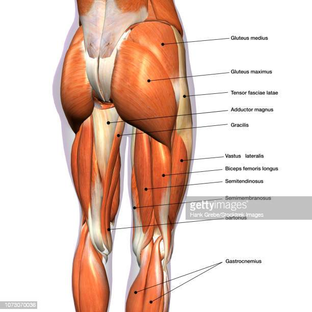 illustrations, cliparts, dessins animés et icônes de rear view of female hip and leg muscles, with labels. - fesses