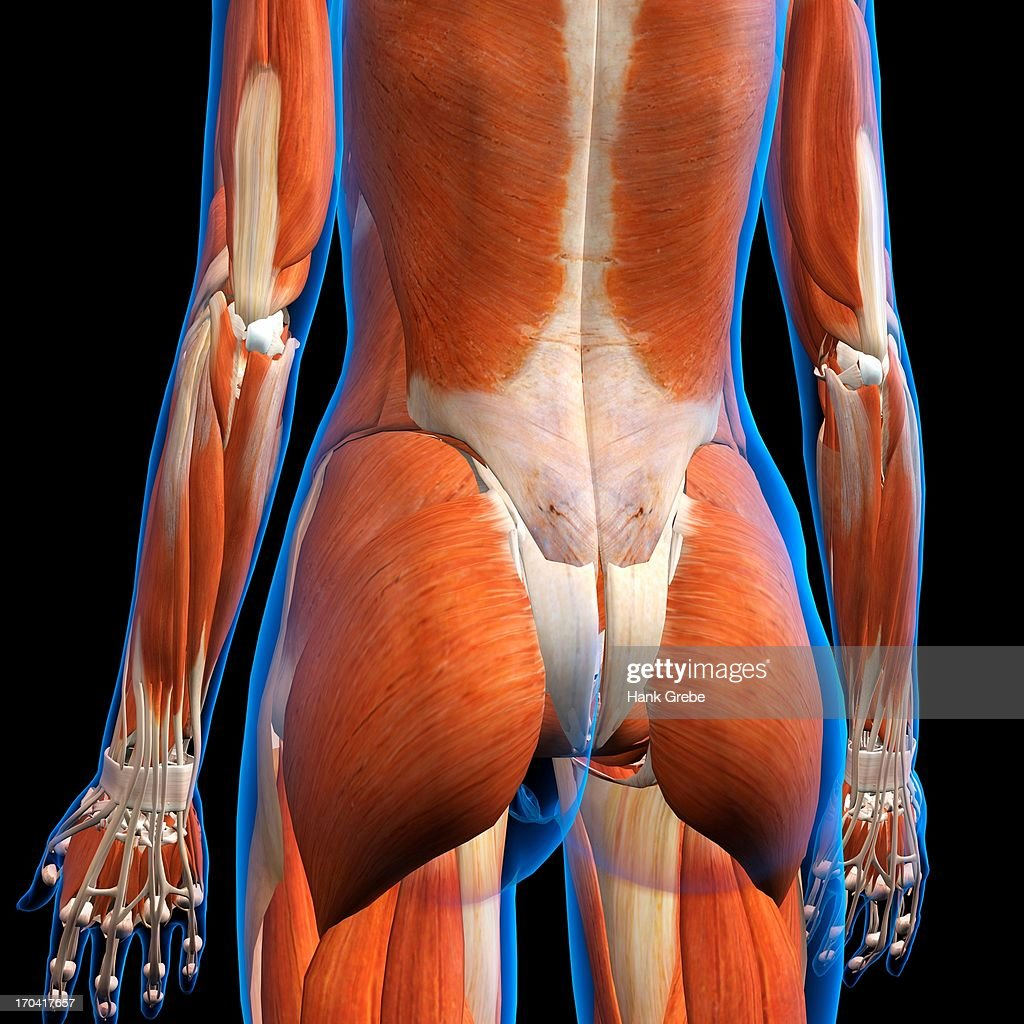 Rear View Of Female Lower Back Muscles Anatomy In Blue Xray Outline