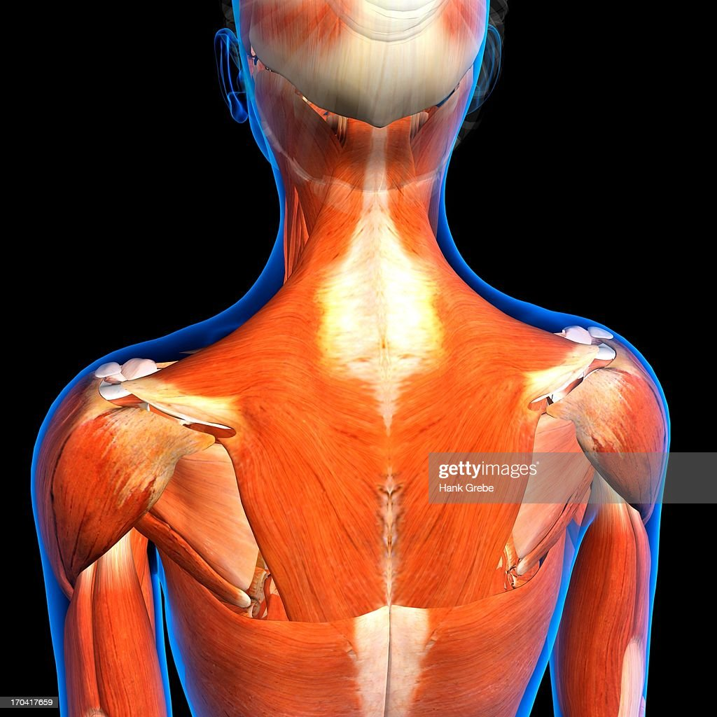 Rear View Of Female Neck And Shoulder Muscles Anatomy In Blue Xray