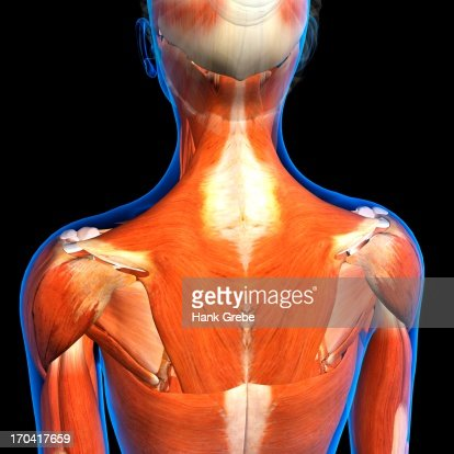 Rear View Of Female Neck And Shoulder Muscles Anatomy In Blue Xray ...