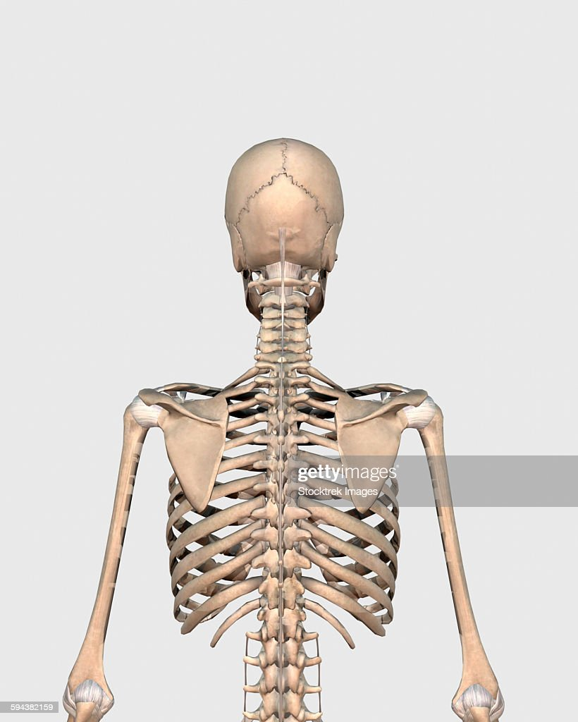 Rear view of human skeletal system showing upper back stock rear view of human skeletal system showing upper back stock illustration ccuart Image collections