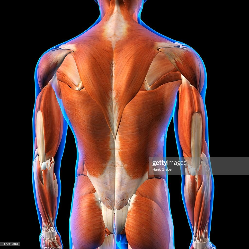 Rear View Of Male Back Muscles Anatomy In Blue Xray Outline Full ...