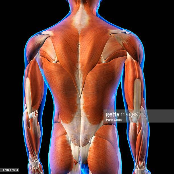 Rear View of Male back muscles anatomy in blue X-Ray outline. Full Color 3D computer generated illustration on Black Background