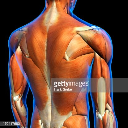 Rear View Of Male Upper Back Muscles Anatomy In Blue Xray Outline ...