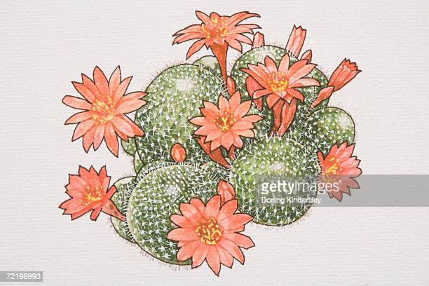Rebutia calliantha, flowering Crown Cactus, view from above.