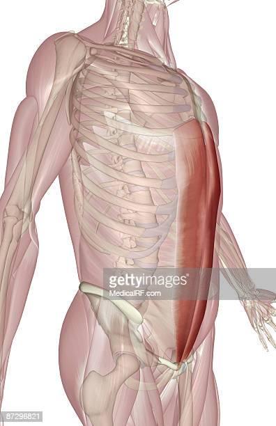 rectus abdominis - abdominal muscle stock illustrations, clip art, cartoons, & icons