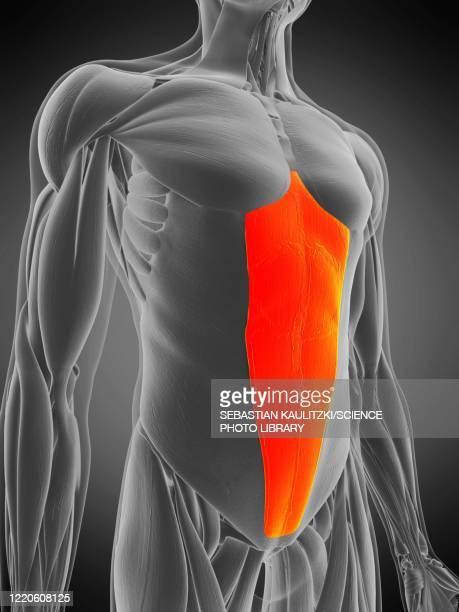 rectus abdominis muscle, illustration - human muscle stock illustrations