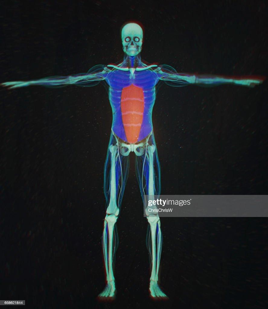 Rectus Abdominus Bauchmuskulatur Menschliche Anatomie 3d ...