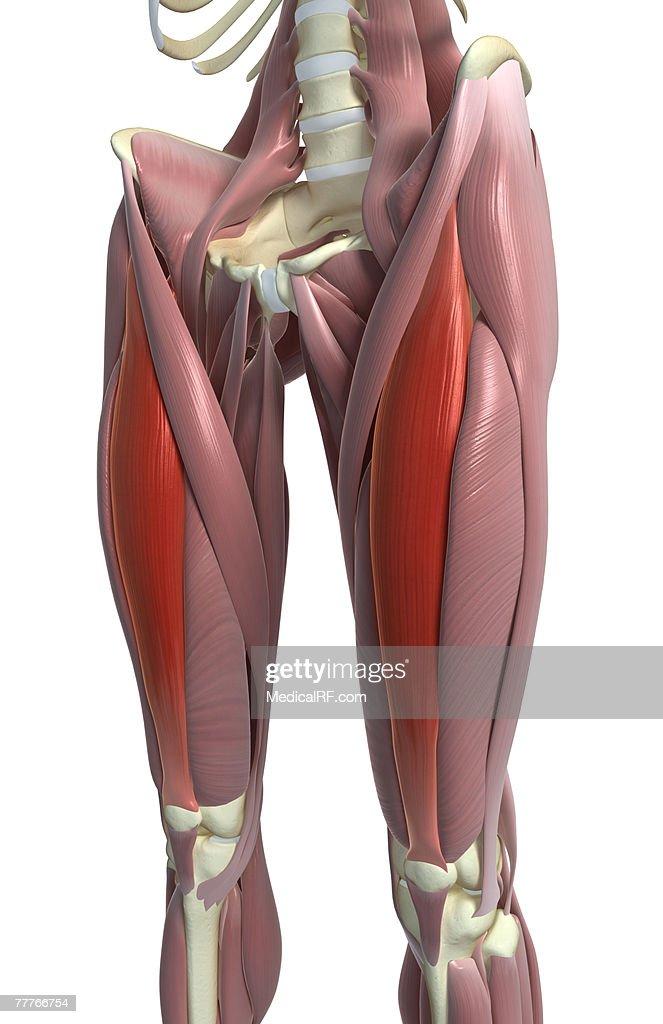 rectus femoris - stock illustration