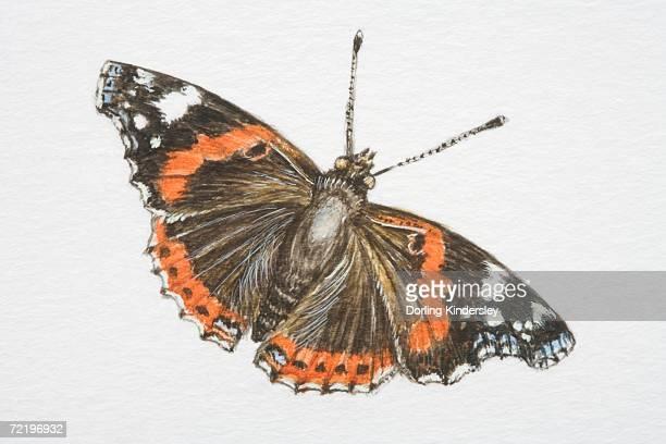 red admiral butterfly (vanessa atalanta). - animal limb stock illustrations, clip art, cartoons, & icons