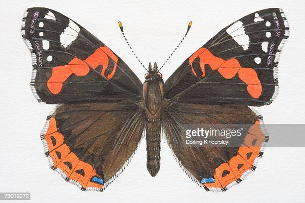 red admiral butterfly (vanessa atalanta) with open wings. - animal limb stock illustrations, clip art, cartoons, & icons