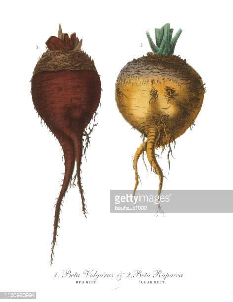 赤ビーツとテンサイ、根菜、野菜、ヴィクトリア朝の植物画