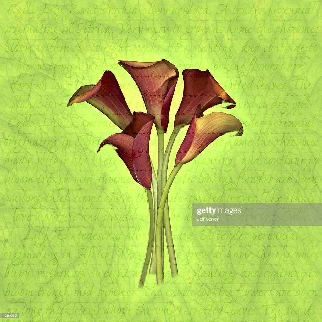 Red Calla Lilies on Descriptive Background : Stock Illustration