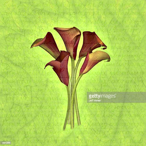 red calla lilies on descriptive background - calla lily stock illustrations, clip art, cartoons, & icons