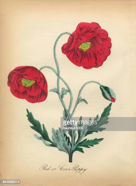 red corn poppy victorian botanical illustration - poppy stock illustrations, clip art, cartoons, & icons