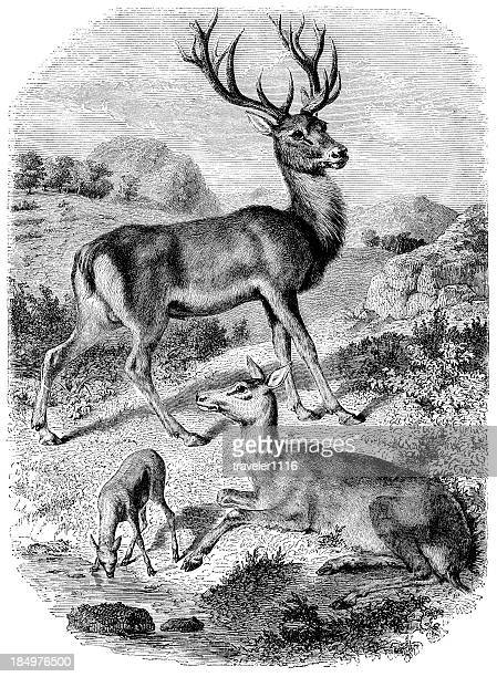 illustrations, cliparts, dessins animés et icônes de red deer - biche