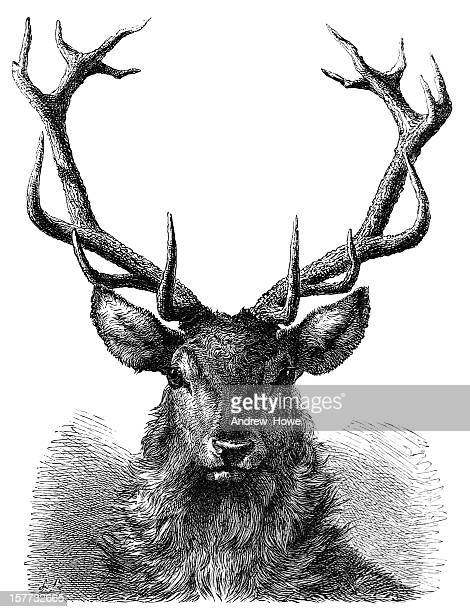 red deer stag head engraving - antique stock illustrations