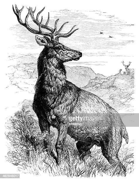 ilustrações, clipart, desenhos animados e ícones de red deer stag - veado macho