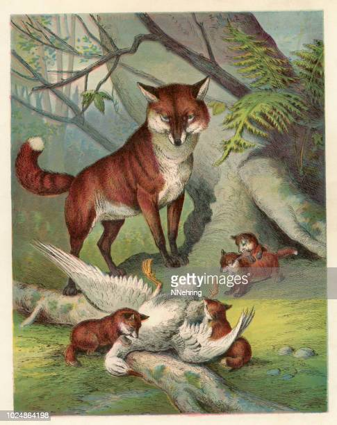 red fox and kits eating duck lithograph